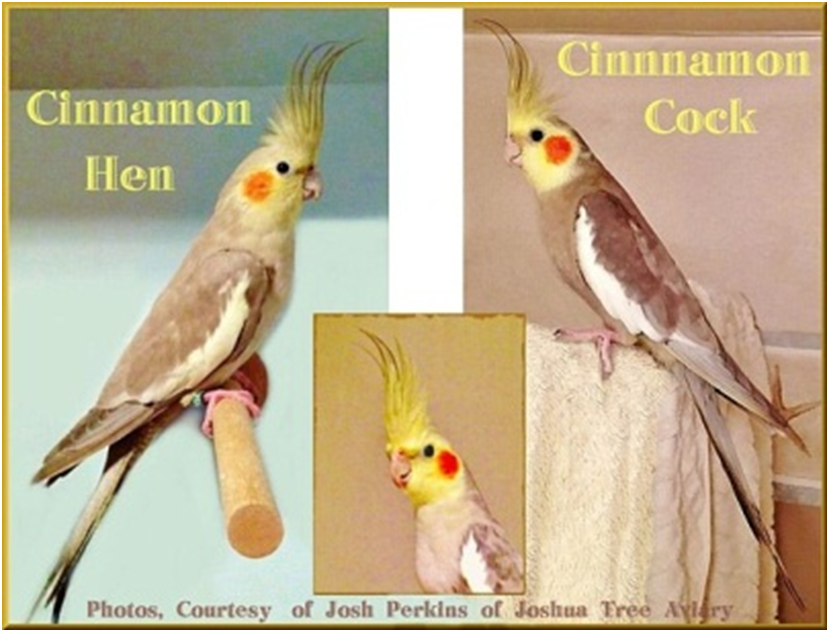 Chapter 5 - COCKATIEL MUTATIONS, A Bounty of Color